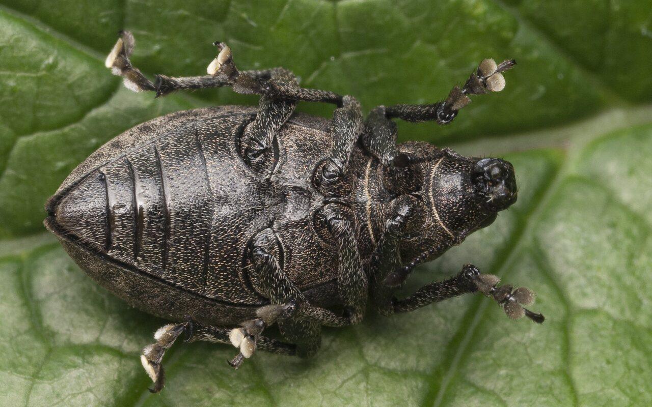 Liophloeus-tessulatus-1205.jpg