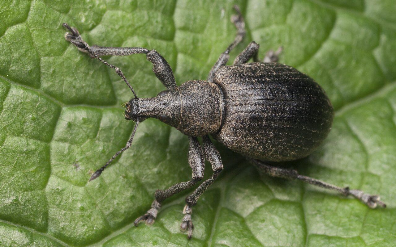 Liophloeus-tessulatus-1206.jpg