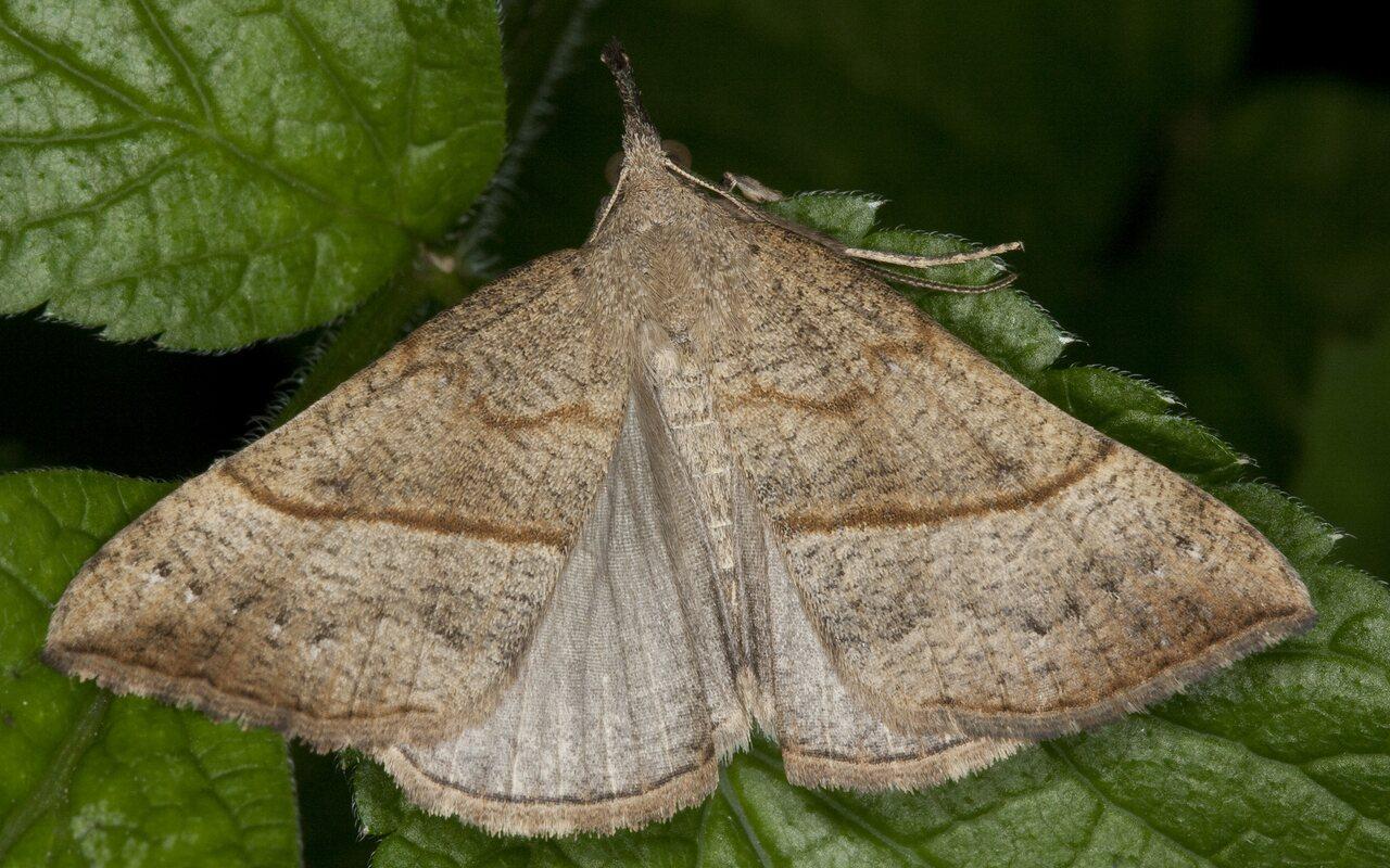 Hypena-proboscidalis-1228.jpg