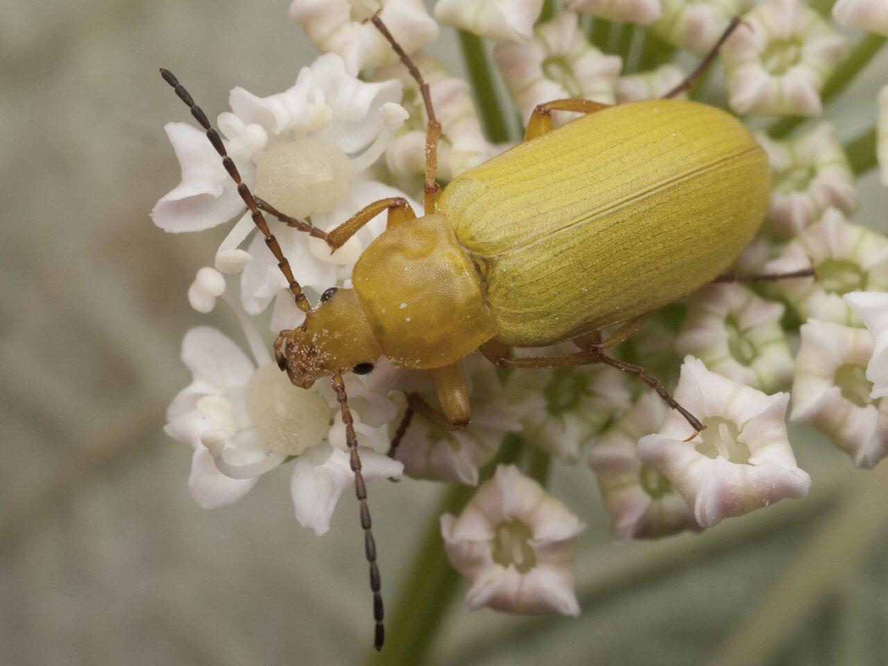 Cteniopus-flavus-1254.jpg