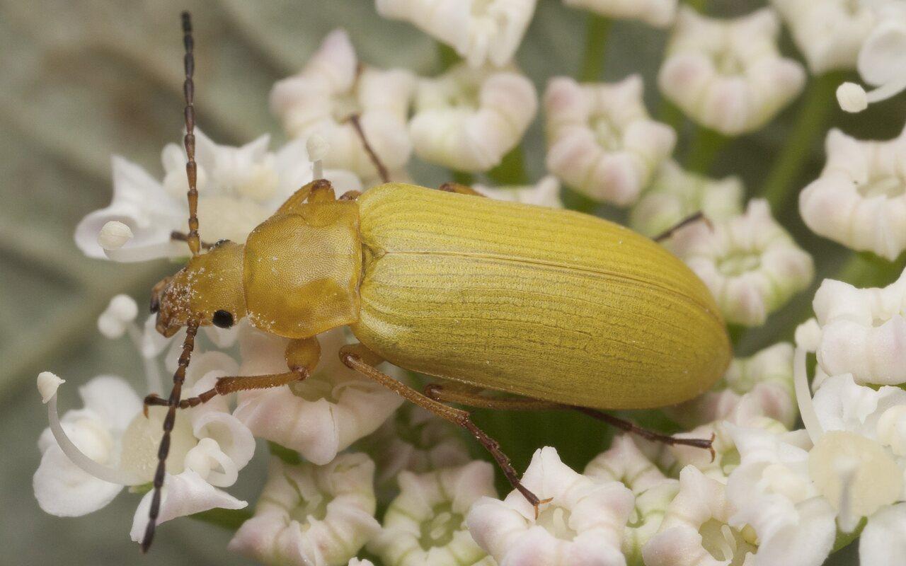 Cteniopus-flavus-1256.jpg