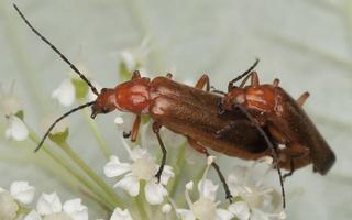 Rhagonycha fulva copula · skėtinis minkštavabalis poruojasi