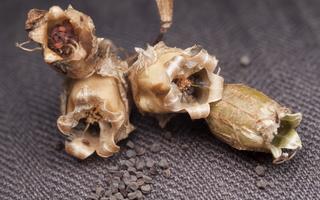 Silene vulgaris seeds · paprastoji naktižiedė, sėklos