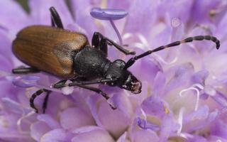 Stictoleptura maculicornis · dėmėtaūsis žieduolis