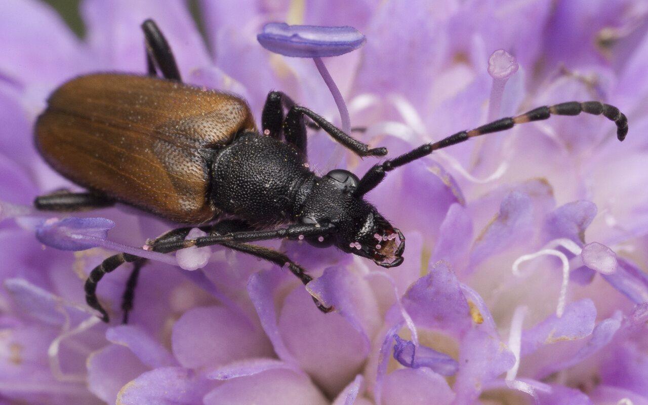 Paracorymbia-maculicornis-1278.jpg