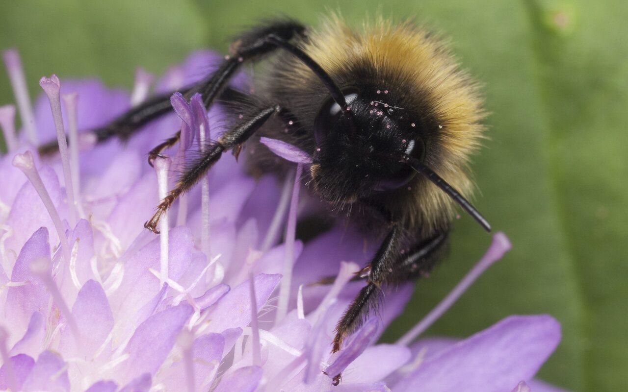 Apidae-1279.jpg