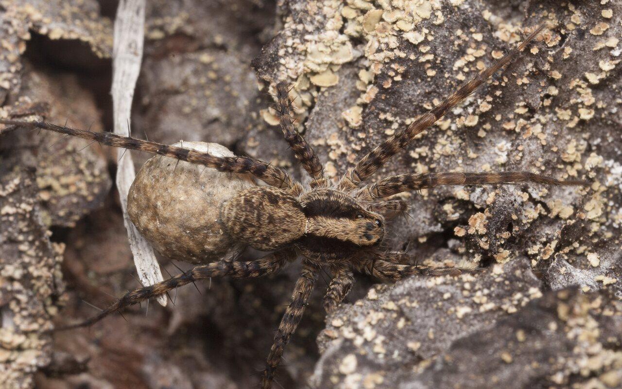 Lycosidae-1281.jpg