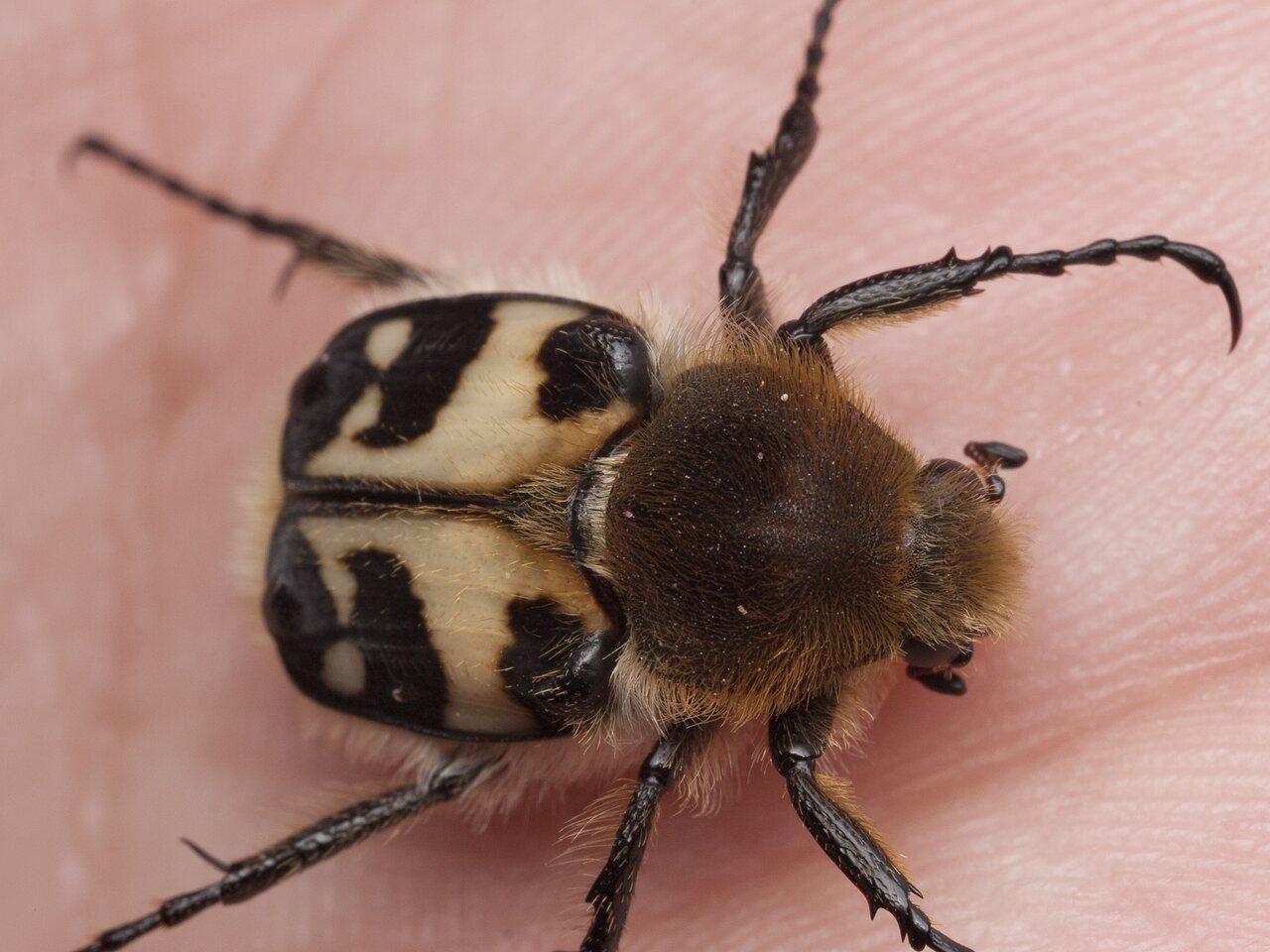 Trichius-fasciatus-1283.jpg