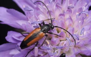 Stenurella melanura · juodasiūlis grakštenis
