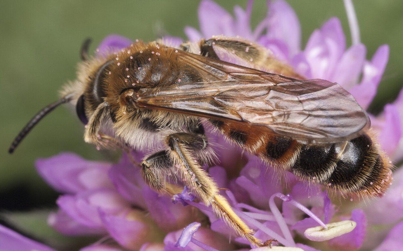 Apidae-1292.jpg