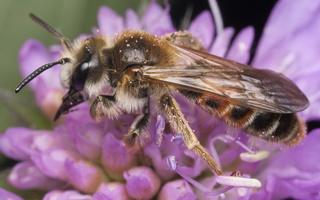 Andrena hattorfiana · buožaininė smėliabitė