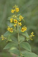 Lysimachia vulgaris · paprastoji šilingė