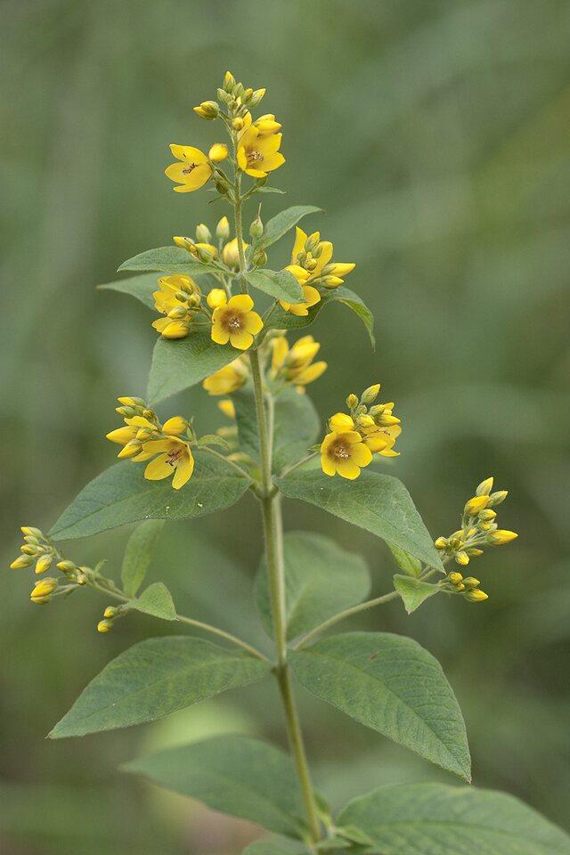 Lysimachia-vulgaris-1309.jpg