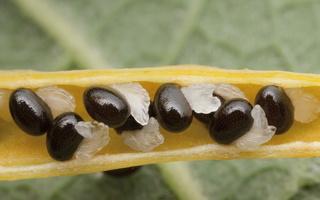 Chelidonium majus, seeds · didžioji ugniažolė, sėklos