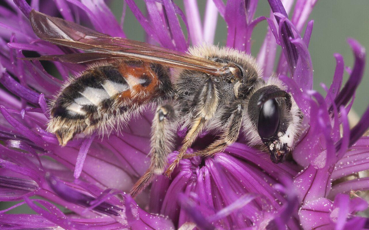 Apidae-1327.jpg