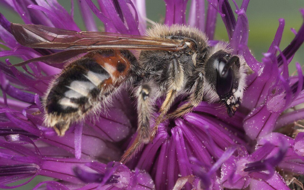 Apidae-1328.jpg