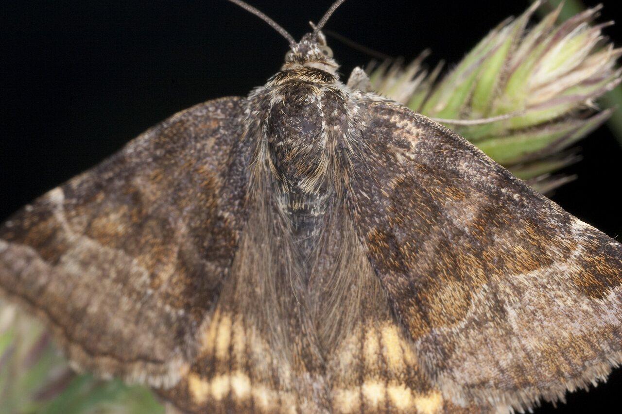 Lepidoptera-1347.jpg