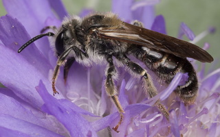 Andrena hattorfiana male · buožaininė smėliabitė ♂