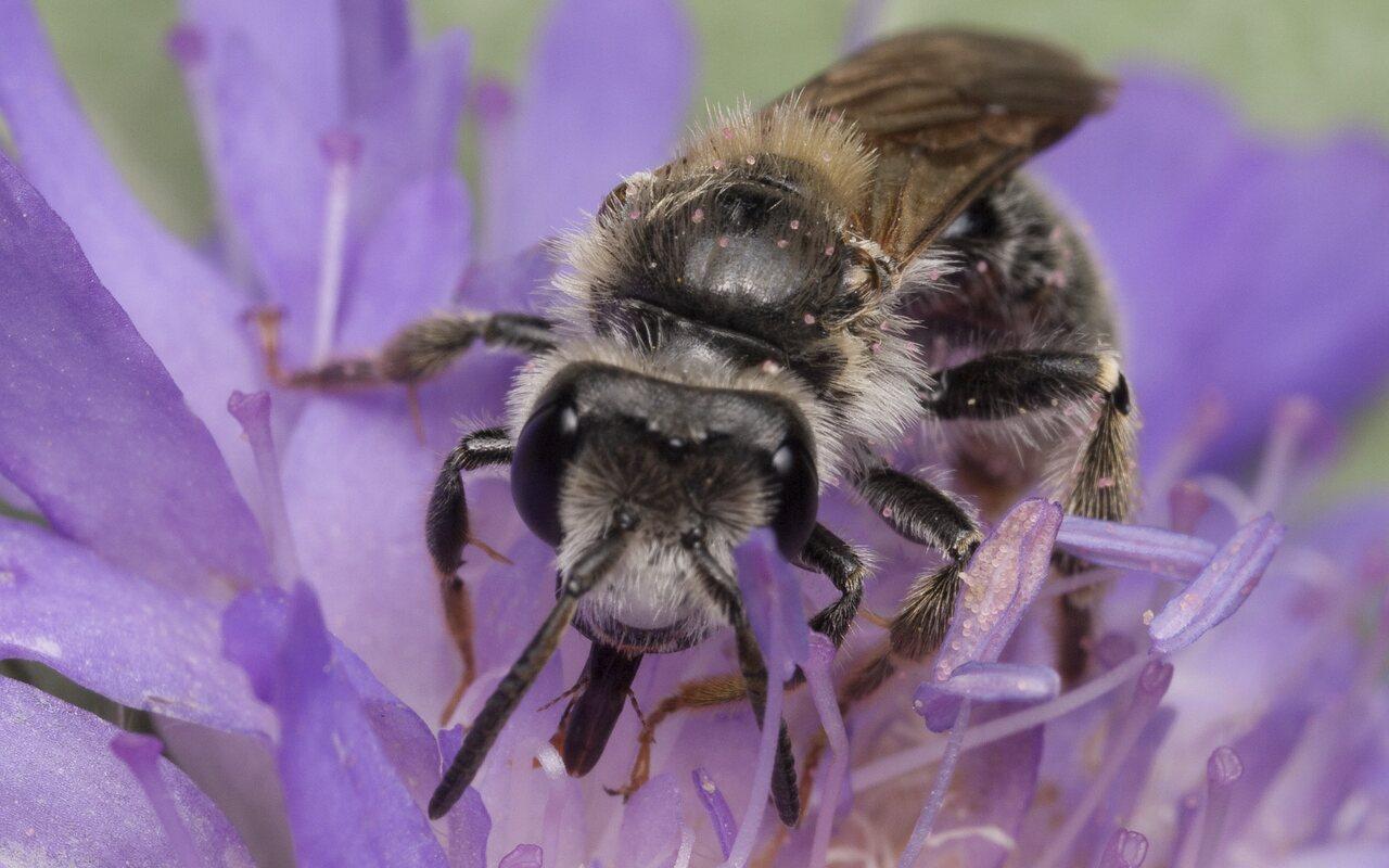 Apidae-1350.jpg