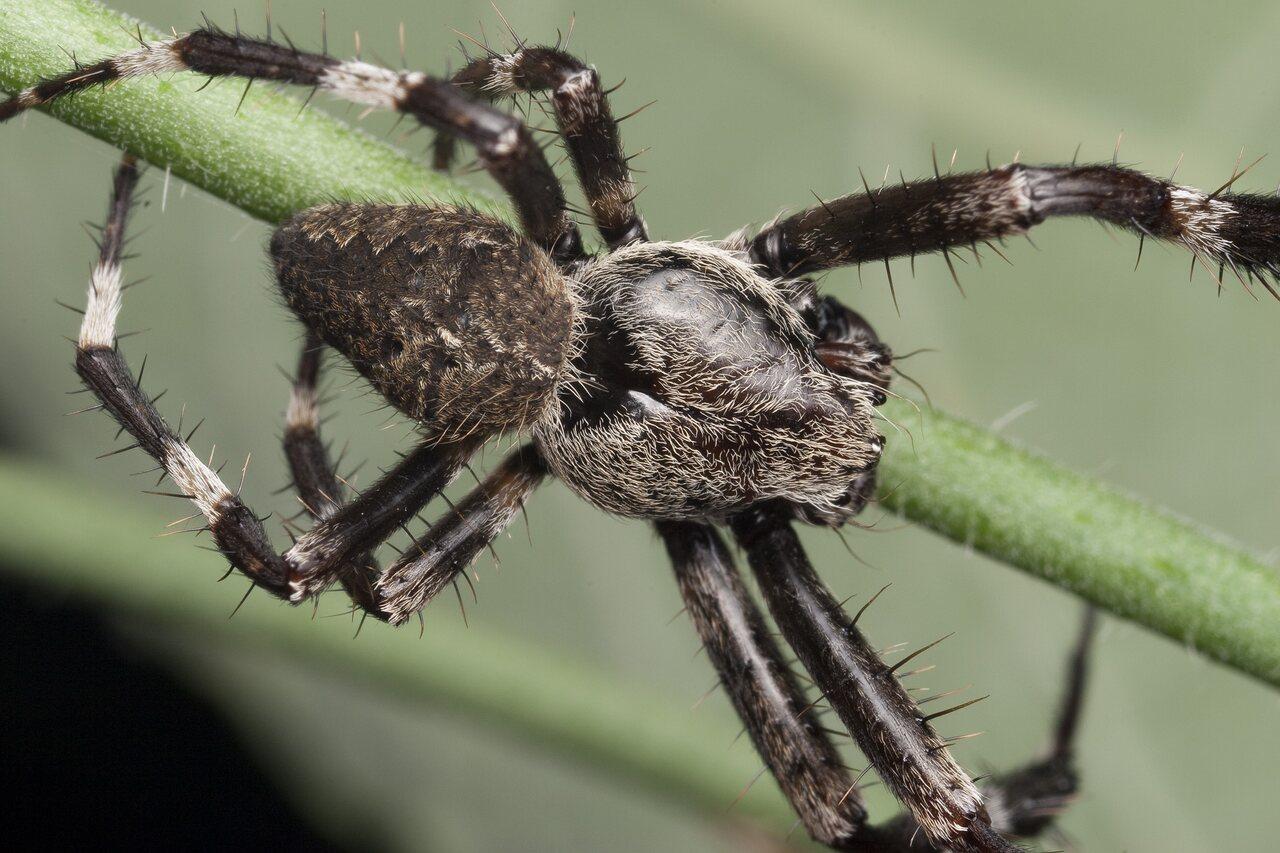 Araneidae-1351.jpg