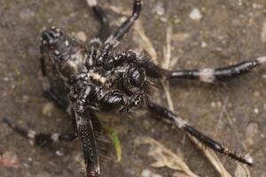 Araneus angulatus male · kauburiuotasis kryžiuotis ♂