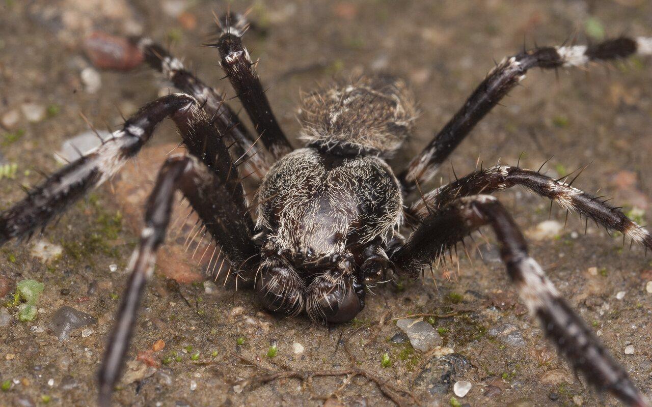 Araneus-angulatus-1357.jpg