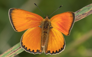 Lycaenidae · melsviai