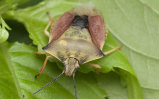Carpocoris fuscispinus · tamsiaūsė skydblakė