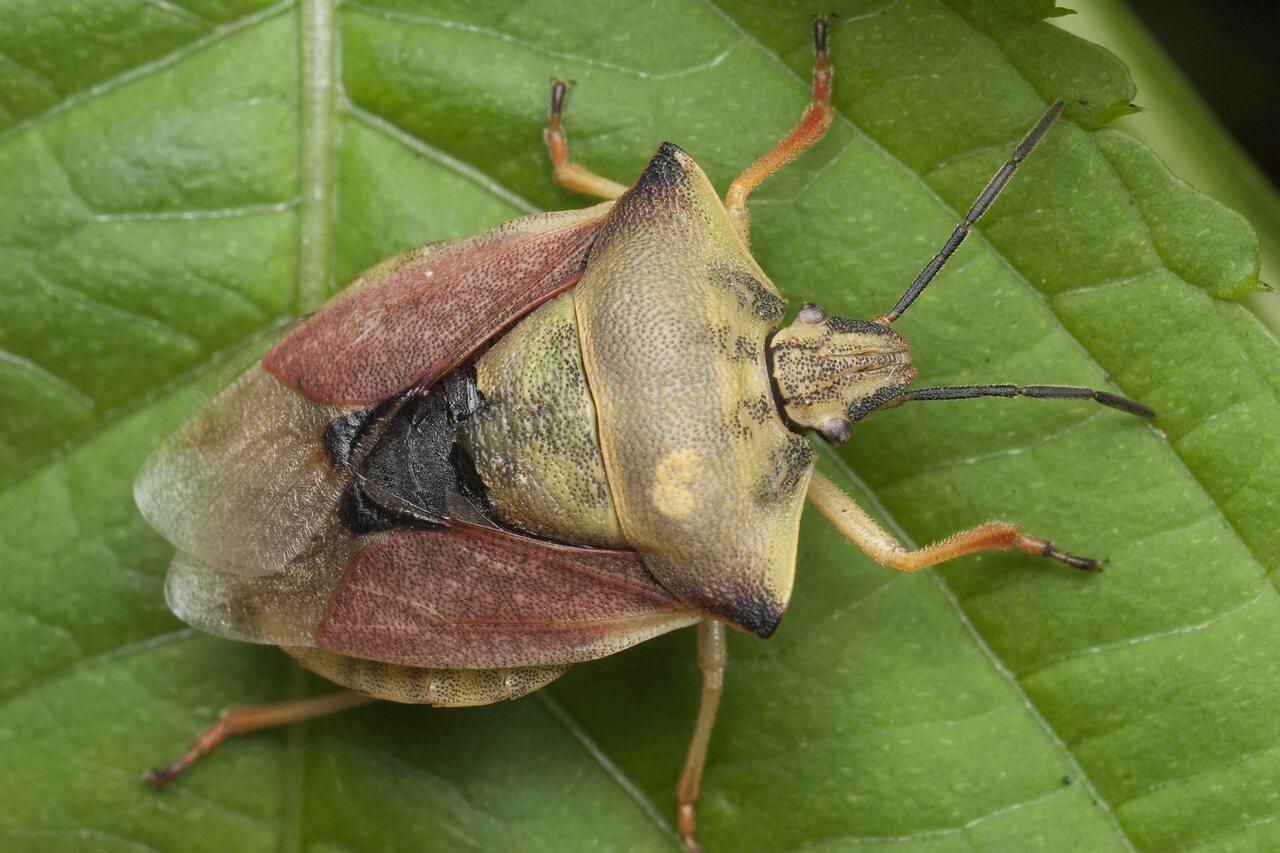 Carpocoris-fuscispinus-1402.jpg