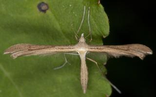 Stenoptilia pterodactyla · veronikinis pirštasparnis