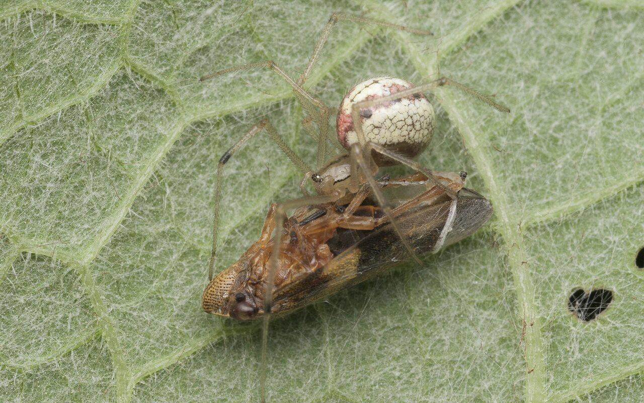 Araneae-1452.jpg