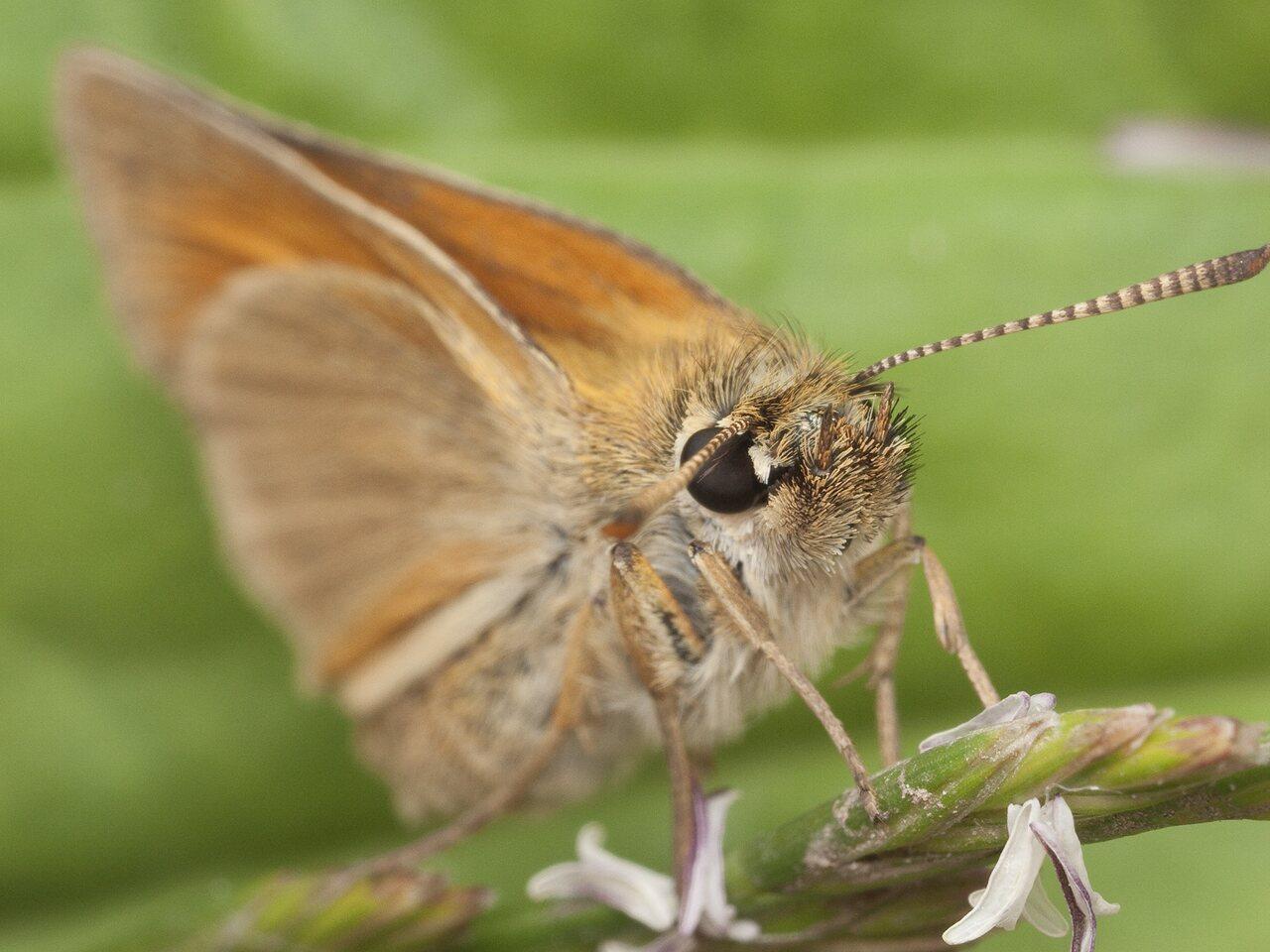 Thymelicus-lineola-1456.jpg