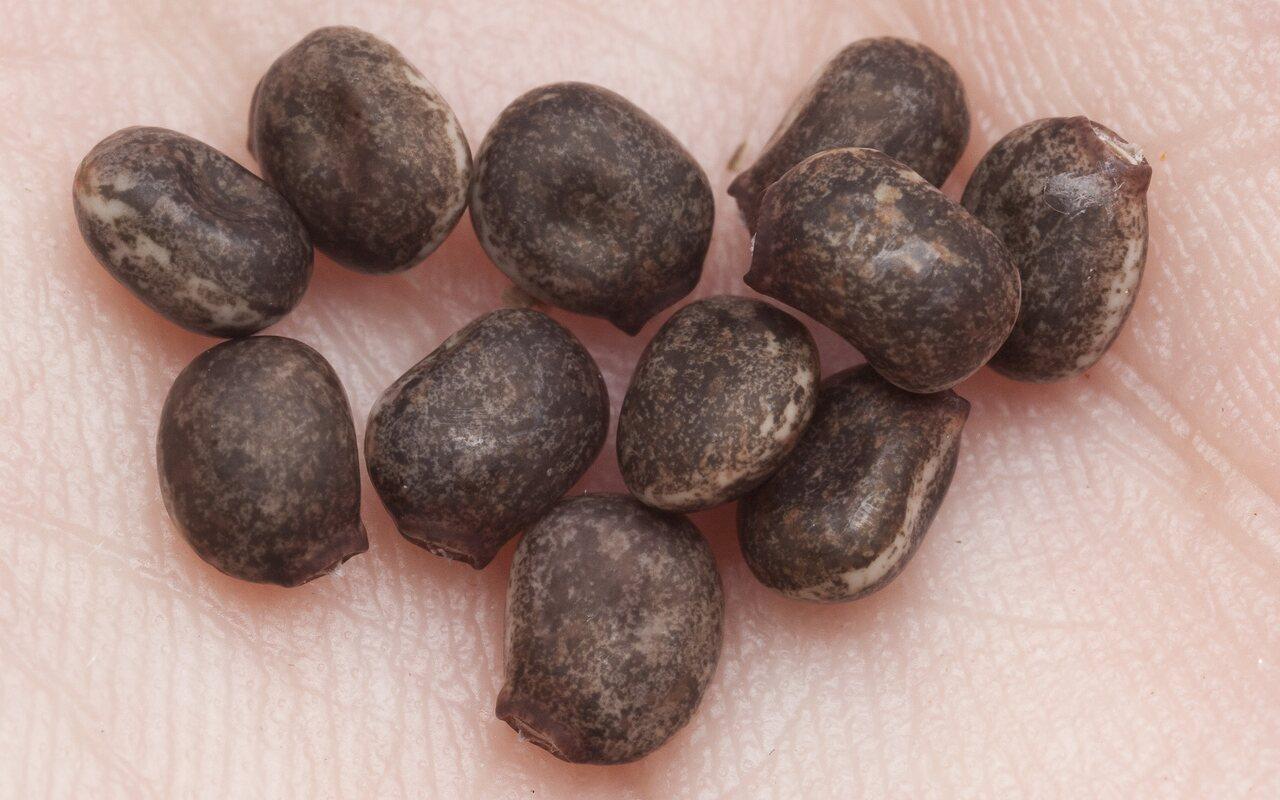 Lupinus-polyphyllus-1457.jpg