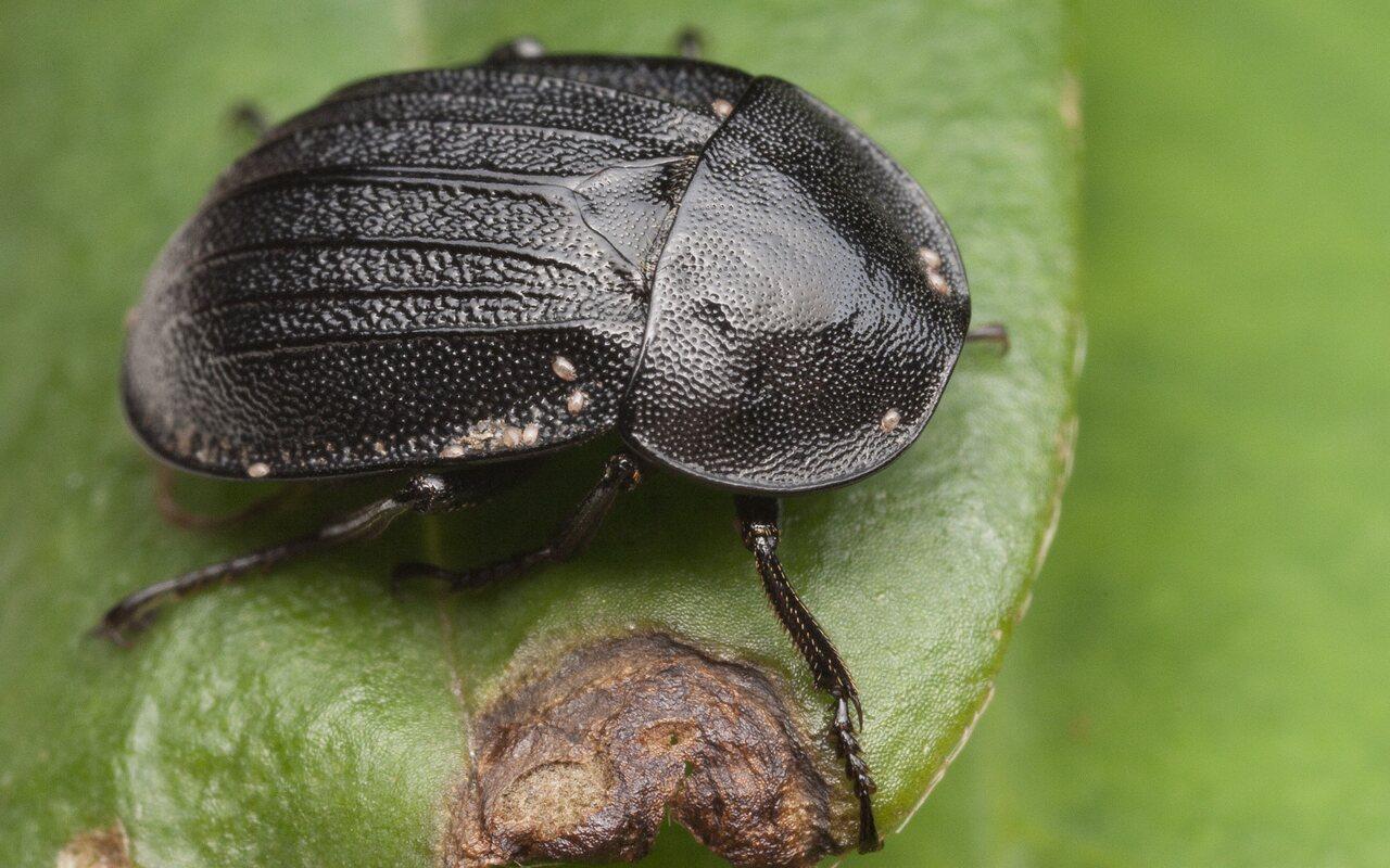 Phosphuga-atrata-1459.jpg