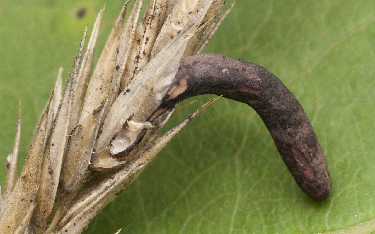 Claviceps-purpurea-1467.jpg