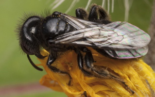 Hymenoptera 1470