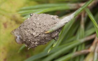 Liocranidae · grumstavoriai