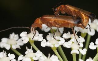 Rhagonycha fulva mating · skėtinis minkštavabalis poruojasi
