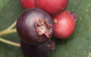 Amelanchier spicata · varpinė medlieva