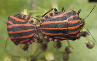 Graphosoma lineatum · juostelinė skydblakė