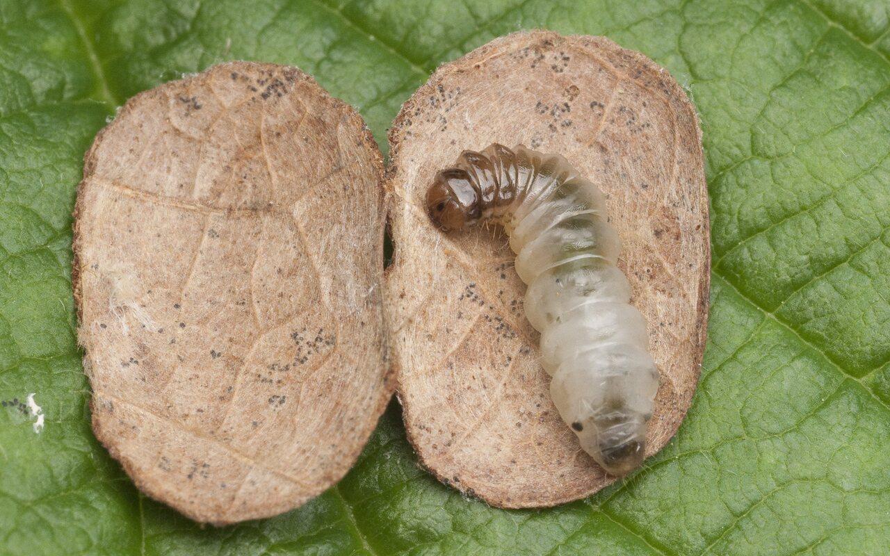 Incurvariidae-1496.jpg