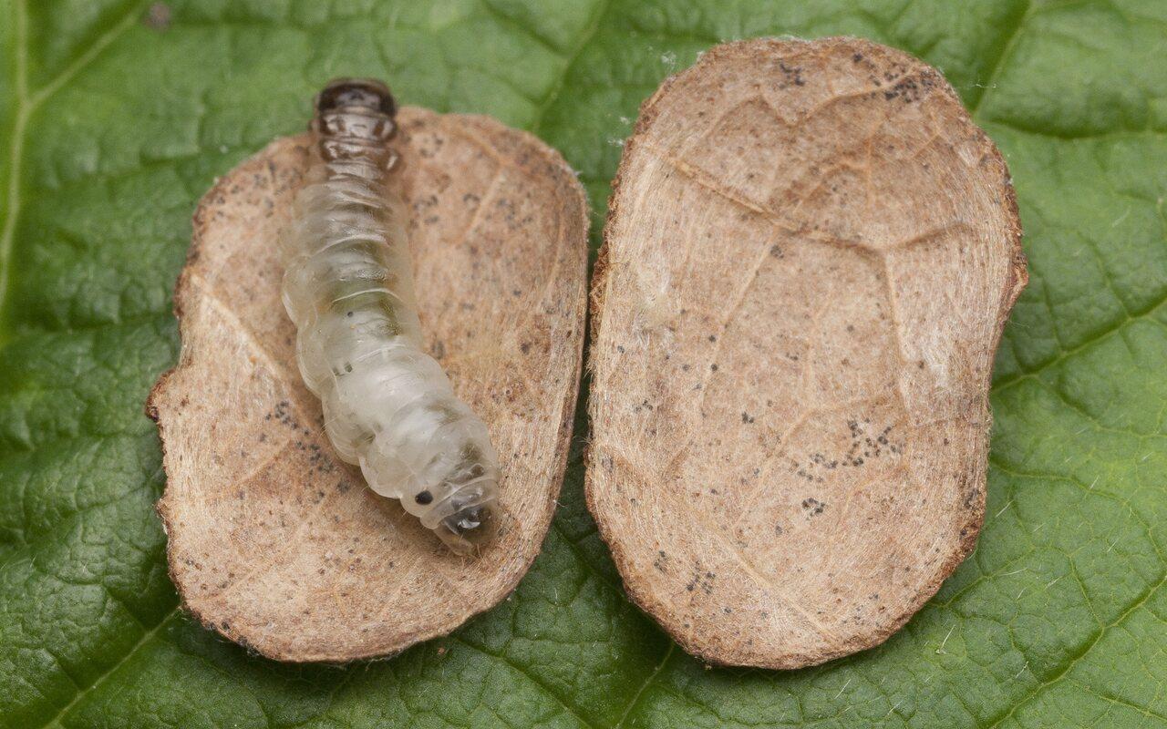 Incurvariidae-1498.jpg
