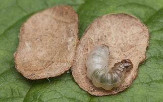 Incurvariidae · tikrosios maišiakandės