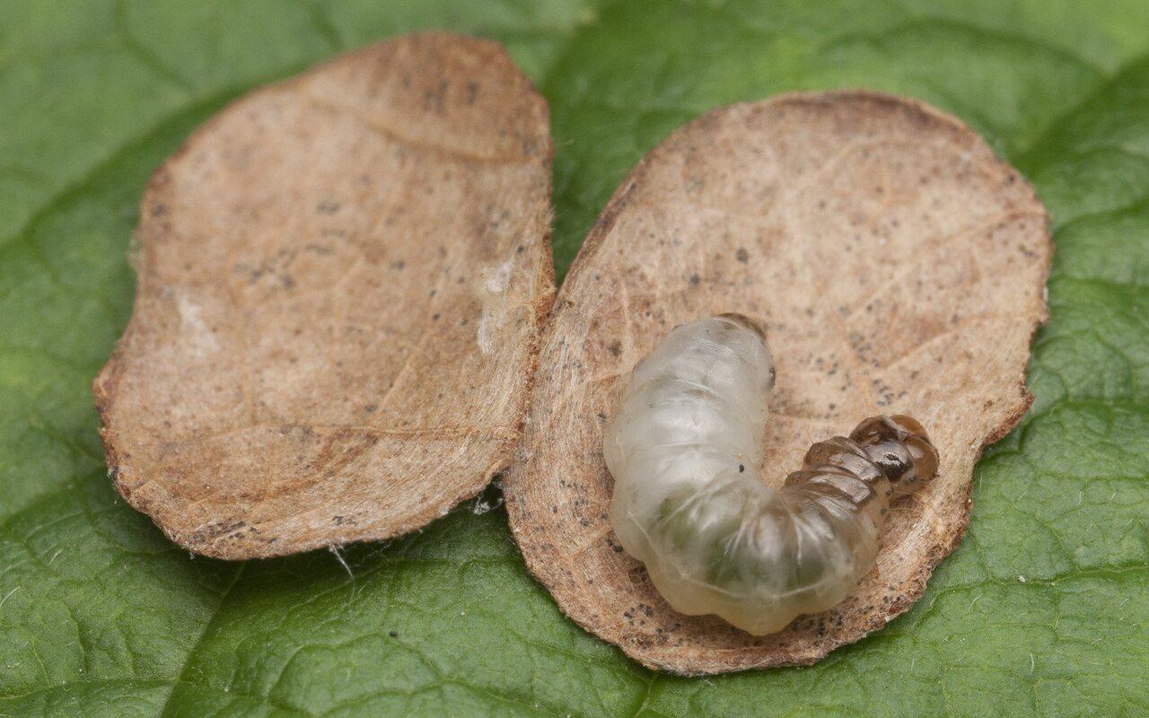 Incurvariidae-1499.jpg