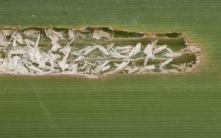 Typha latifolia · plačialapis švendras