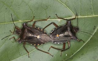 Pentatoma rufipes mating · raudonkojė skydblakė poruojasi