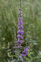 Lythrum salicaria L. · paprastoji raudoklė
