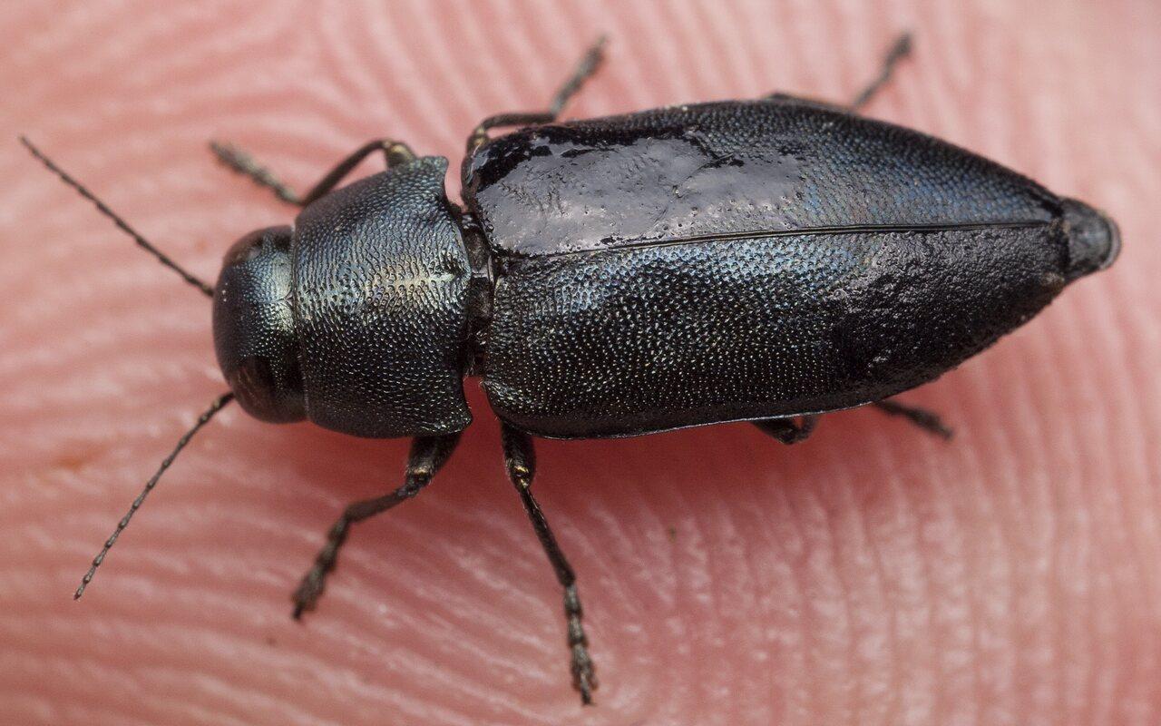 Phaenops-cyanea-1539.jpg