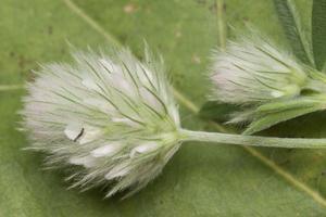 Trifolium arvense · dirvinis dobilas