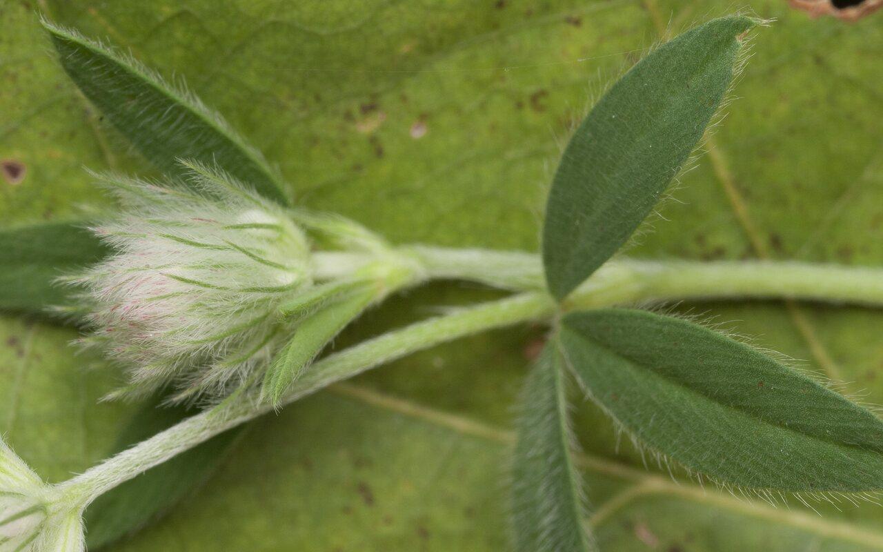 Trifolium-arvense-1562.jpg